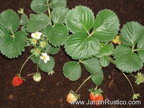 cultivo-de-la-fresa o-fresón
